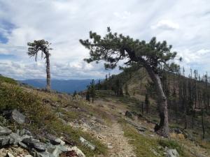 Weathered trees on Devil's Peak (knobcone?)